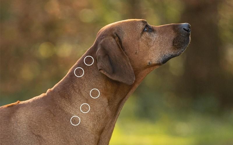 Stresspunkte am Kopf bei myofaszialen Schmerzen beim Hund mit dem NOVAFON behandeln