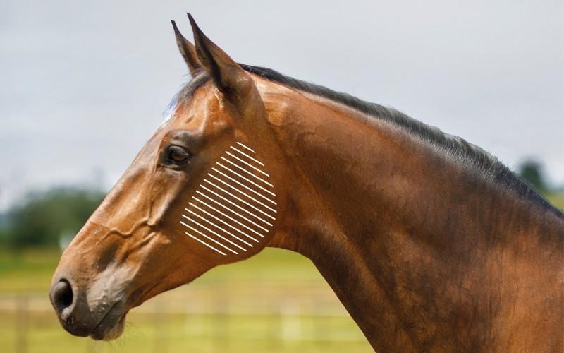 Kiefer beim Pferd mit dem NOVAFON behandeln