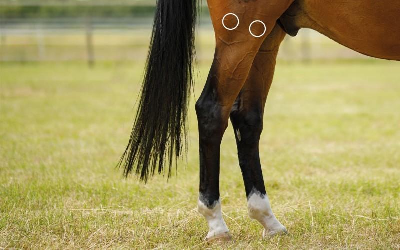 Triggerpunkte bei Sehnenerkrankung beim Pferd mit dem NOVAFON behandeln