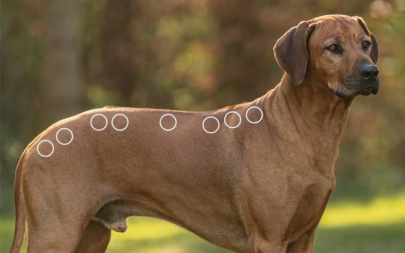 Triggerpunkte am Rücken beim Hund mit dem NOVAFON behandeln