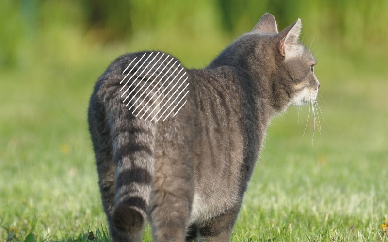 DLSS bei Katzen mit dem NOVAFON behandeln
