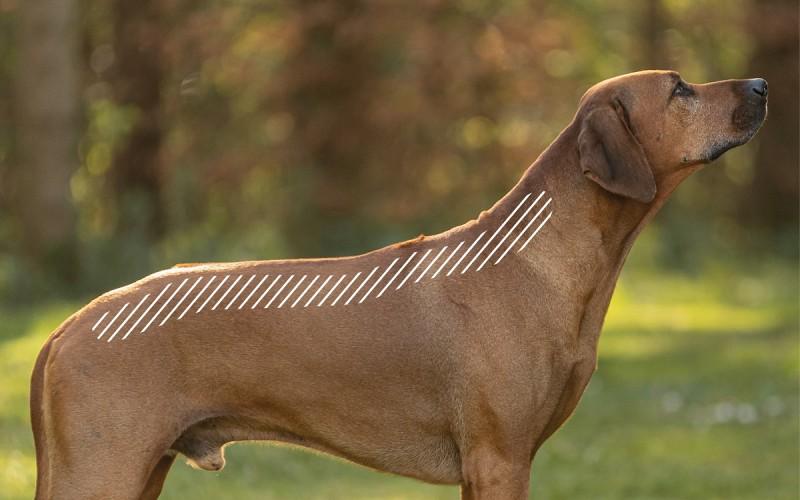 Spondylose am Rücken beim Hund mit dem NOVAFON behandeln